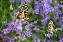 Butterfy auf violetter Blume Stockfotografie