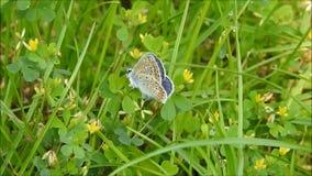 Butterfy azul video estoque