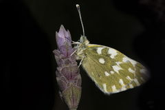 Butterfy. A beutiful butterfly on a flower Stock Photography