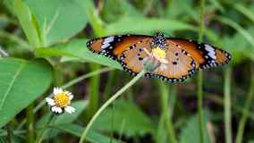 Butterfy. Butterfly in the greenery, with flowers around, tortoiseshell Royalty Free Stock Images