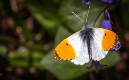 Butterfy die zijn zelf zont stock foto