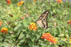 Butterfy en lantanasbloemen Royalty-vrije Stock Foto's