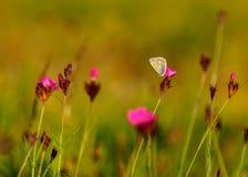 Butterfy mellan rosa nejlikor Arkivfoto