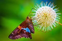 Butterfy on Spike Ball. A butterfly landed on this spiky unknoqn flower Stock Photography