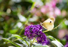 Butterfyl белой капусты на цветении цветка Стоковое Изображение