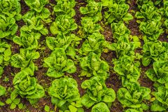 Butterhead莴苣沙拉种植园,绿色有机菜地方教育局 库存图片