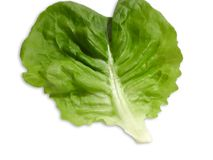 Butterhead fresh green lettuce leaf royalty free stock photos