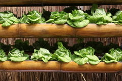Butterhead grönsallat Royaltyfri Bild