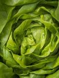 Butterhead grönsallat Royaltyfri Fotografi