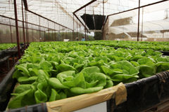 Butterhead lettuce farm Royalty Free Stock Image