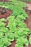 Butterhead lettuce green vegetable Royalty Free Stock Images