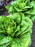 Butterhead lettuce growing in the garden Royalty Free Stock Photo