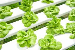 Butterhead lettuce growing in greenhouse vegetable hydroponic system farm plants on water without soil agriculture organic stock images