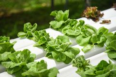 Butterhead lettuce growing in greenhouse vegetable hydroponic system farm plants on water without soil agriculture organic stock image
