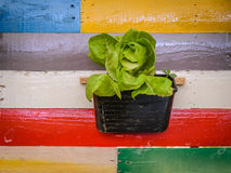 Butterhead lettuce plant on wall Stock Images