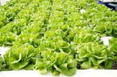 Butterhead Lettuce Royalty Free Stock Image