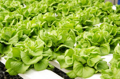 Butterhead Lettuce Royalty Free Stock Photography