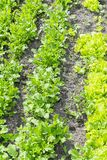 Butterhead Lettuce salad plant, hydroponic vegetable leaves. fresh green salad in soil and pots, fresh green salad in soil and. Pots, green vegetable. vertical royalty free stock photo