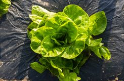 Butterhead Lettuce salad plantation - Organic green lettuce Royalty Free Stock Images