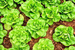 Butterhead lettuce vegetable Royalty Free Stock Images