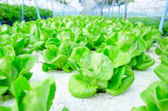 Butterhead verde della lattuga romana - azienda agricola della verdura di coltura idroponica Fotografia Stock