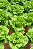 butterheadgrönsallat Arkivfoto