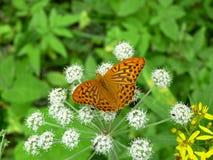 Butterlfly 免版税库存照片