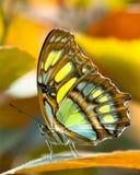 Butterlfy malachiet Royalty-vrije Stock Foto