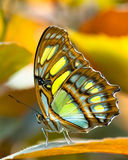 butterlfy malachite Royaltyfri Foto