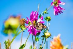 Butterlfy placering på blomman 1 arkivfoton