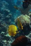 Butterlfyfish de Bluecheek Fotografia de Stock