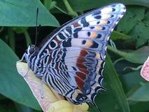 Butterly azul que olha o Imagens de Stock