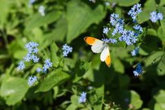 Butterly and blue flowers Stock Image