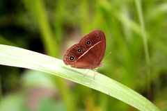 Butterly. Brown butterfly on the leaf Royalty Free Stock Image