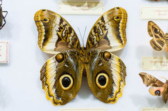 Butterly Caligo martia. A Caligo martia butterfly as part of a butterfly collection Royalty Free Stock Image
