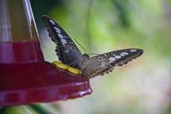 Butterly drinkar från kolibriförlagematare Fotografering för Bildbyråer