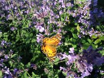 Butterly on Lavender Flowers. Royalty Free Stock Photography