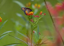 Butterly on a milkweed Royalty Free Stock Photography