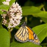 butterly monarcha Zdjęcie Stock