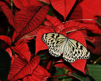 Butterly op Poinsetta Stock Afbeeldingen