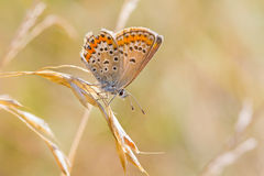 Butterly resting on common wild oat royalty free stock photos