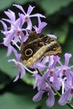 Butterly sull'orchidea Fotografie Stock Libere da Diritti