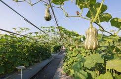 Butternut сквоша тыквы растя в ферме земледелия завода поля Стоковые Фото