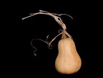 Butternut squash on black. Royalty Free Stock Photography
