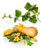 Butternut squash with green leaves and huge flowers Stock Photo