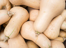 Butternut Squash. At harvest time Royalty Free Stock Photos