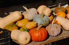 Butternut squash and a pile of winter squashes Royalty Free Stock Images