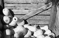 Buttersquash Crate. Image of many buttersquash being sold out of a crate at a market Royalty Free Stock Photography