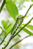 Buttertfly Caterpillar on the tree. A buttertfly Caterpillar on the tree, close up Royalty Free Stock Photography