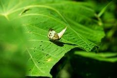 Buttertly en la hoja Foto de archivo libre de regalías